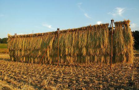 800px-Paddy_field_-_rice_drying,_Japan_001.jpg