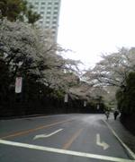 sakurasinagawa.JPG